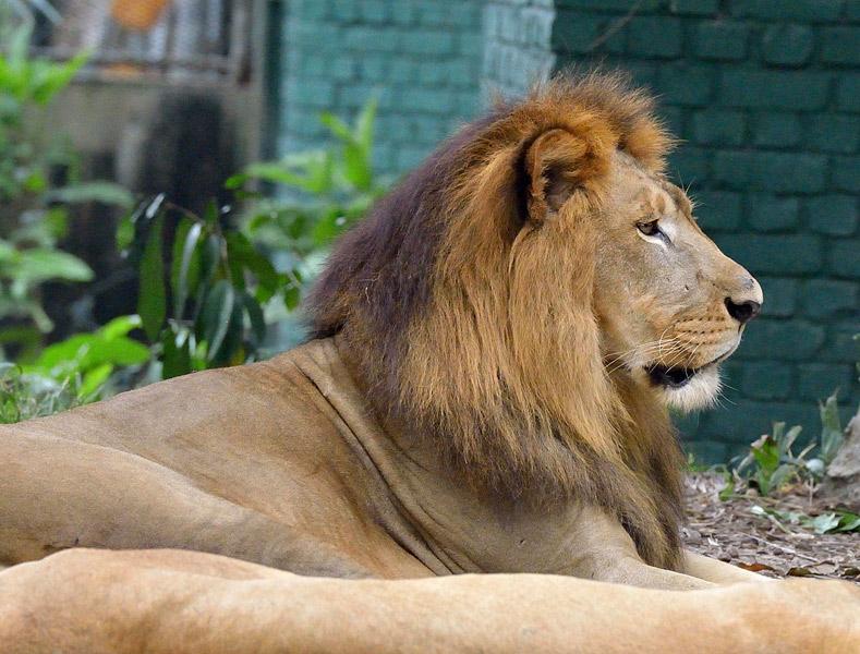 Зоопарк в Куала-Лумпуре. Лев. 119