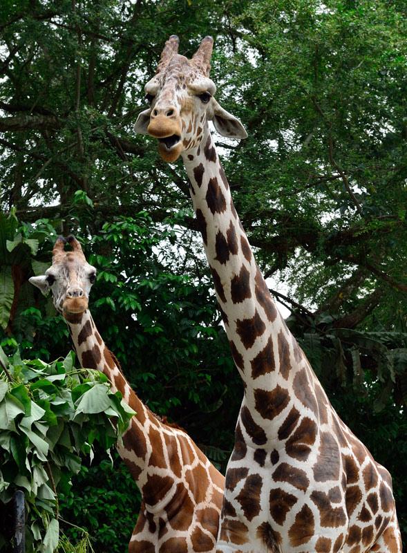 Зоопарк в Куала-Лумпуре. Жирафы. 123