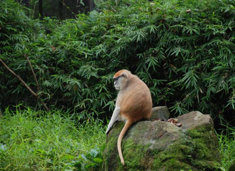 Сингапур. Зоопарк. Обезьяна. Singapore. Zoo. Monkey.