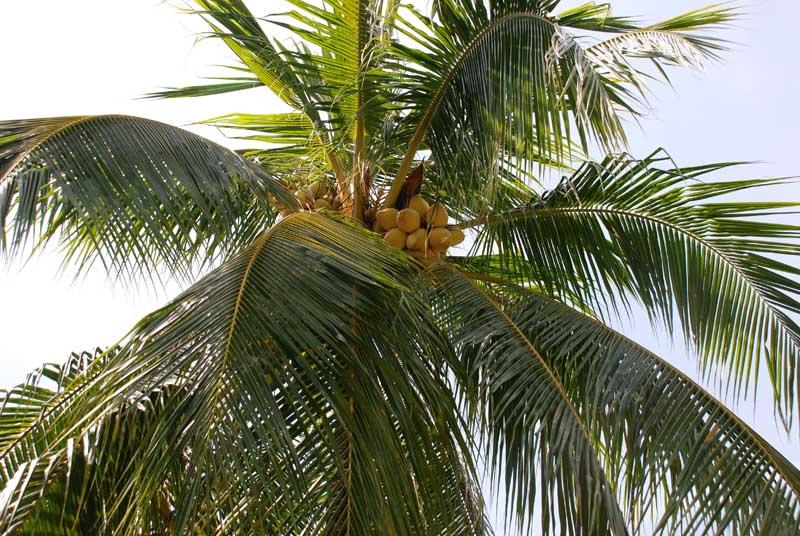 Пенанг. Пальмы. Penang. Palms