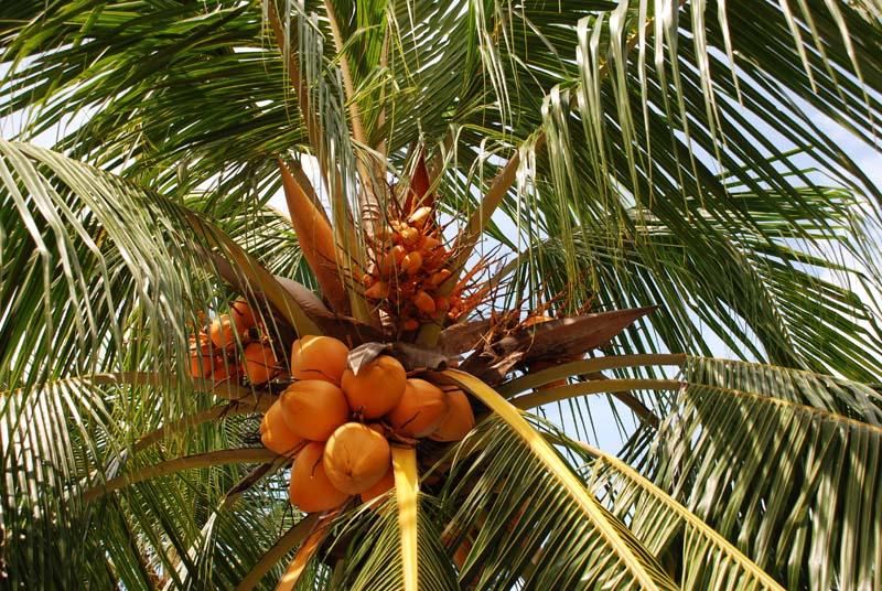 Пенанг. Пальма.Кокос. Penang. Palms. Coco.