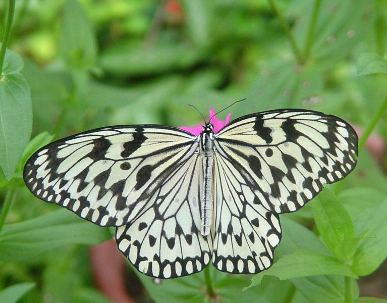 Пенанг. Бабочка. Penang.Butterfly.