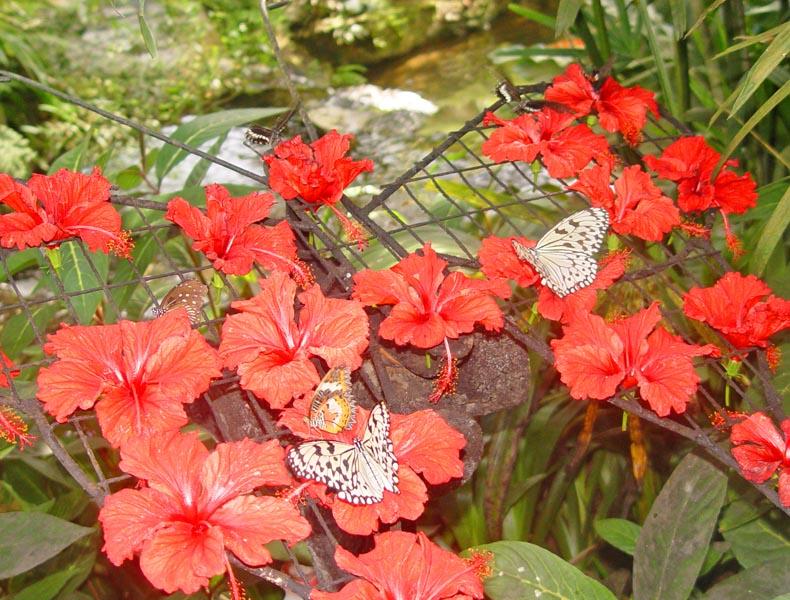 Пенанг. Бабочки.Penang. Butterfly.