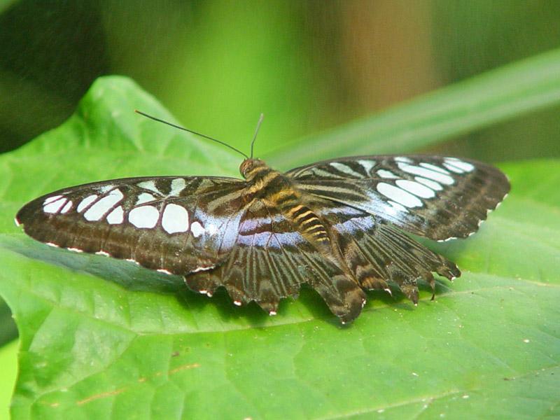 Пенанг. Бабочка.Penang. Butterfly.
